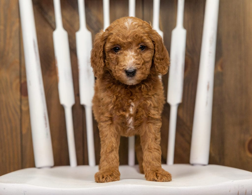 Echo came from Zara and Milo's litter of F1BB Goldendoodles