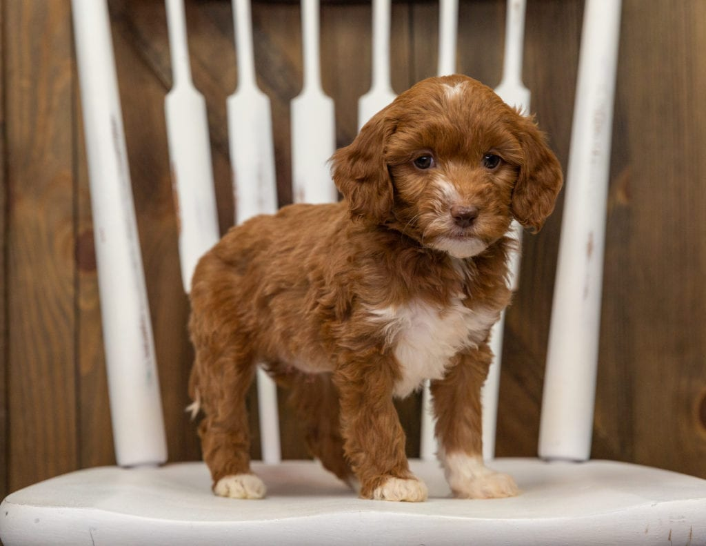 A picture of a Elfa, one of our Mini Goldendoodles puppies that went to their home in North Carolina