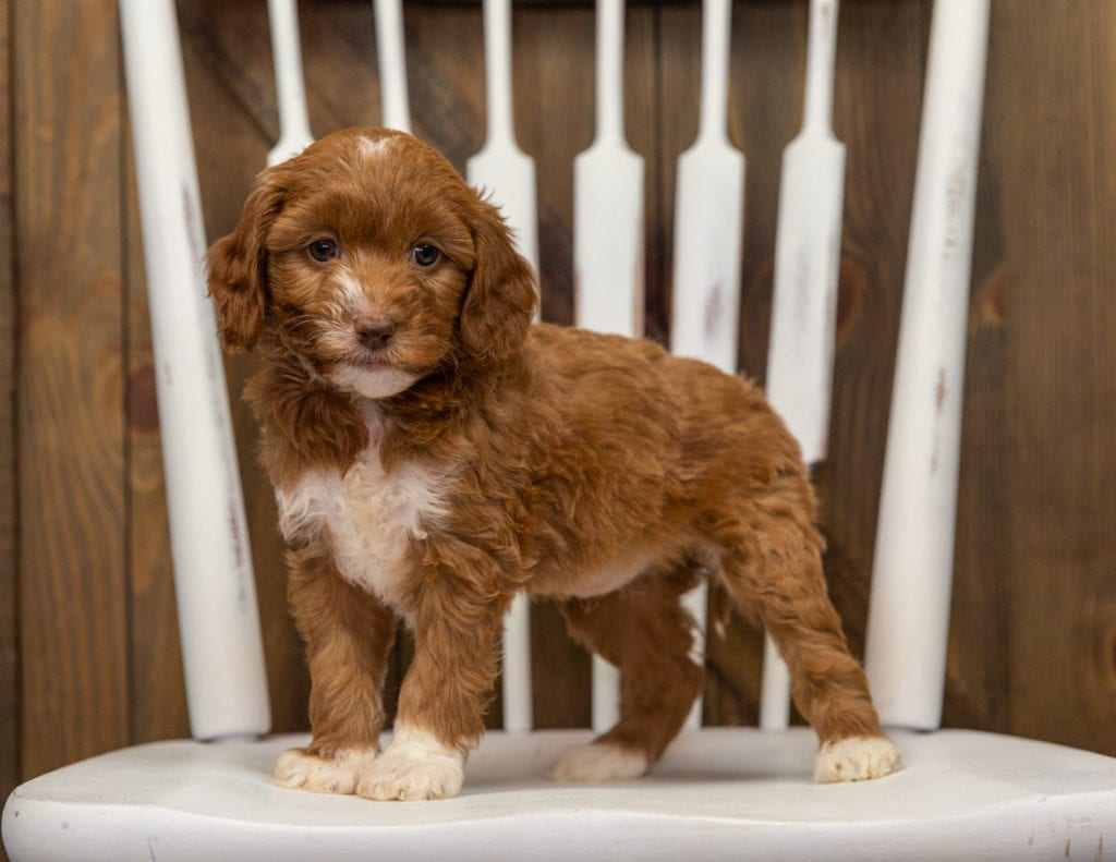 Elfa is an F1BB Goldendoodle that should have  and is currently living in North Carolina