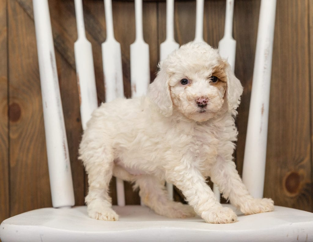 A picture of a Ember, one of our Mini Goldendoodles puppies that went to their home in California