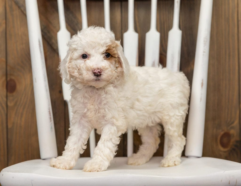 Ember is an F1BB Goldendoodle that should have  and is currently living in California