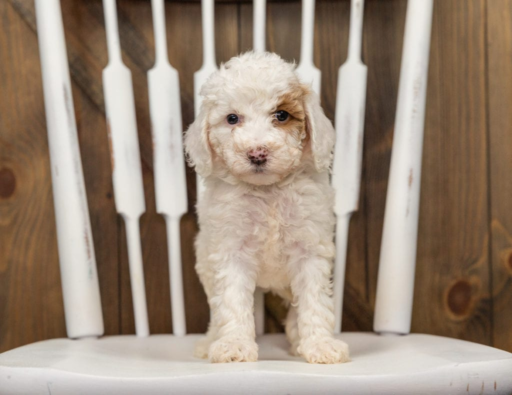 Ember came from Zara and Milo's litter of F1BB Goldendoodles