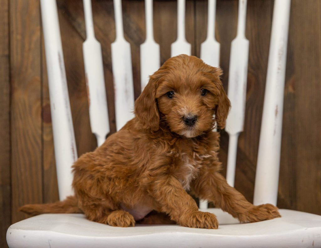 A picture of a Emily, one of our Mini Goldendoodles puppies that went to their home in Minnesota