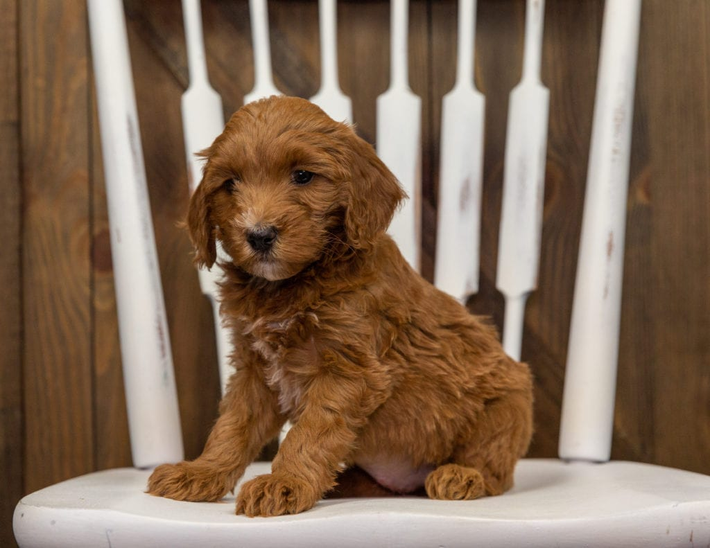 Emily is an F1BB Goldendoodle that should have  and is currently living in Minnesota