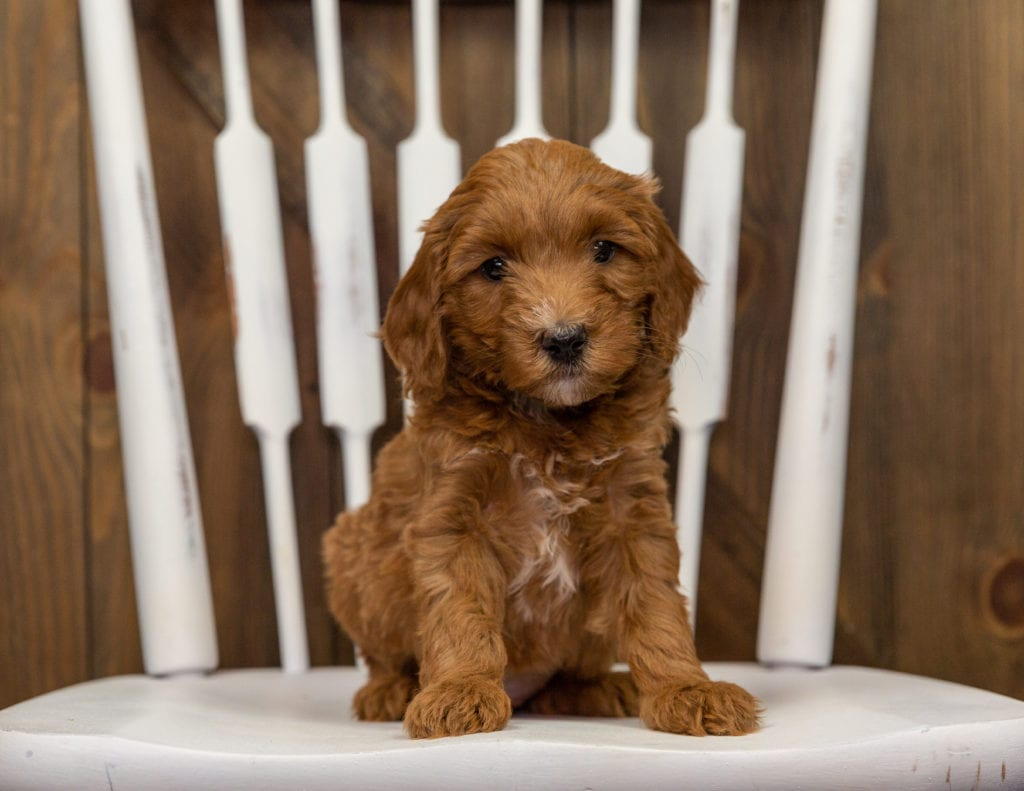 Emily came from Zara and Milo's litter of F1BB Goldendoodles