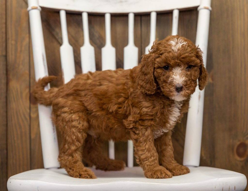 A picture of a Eska, one of our Mini Goldendoodles puppies that went to their home in Tennessee