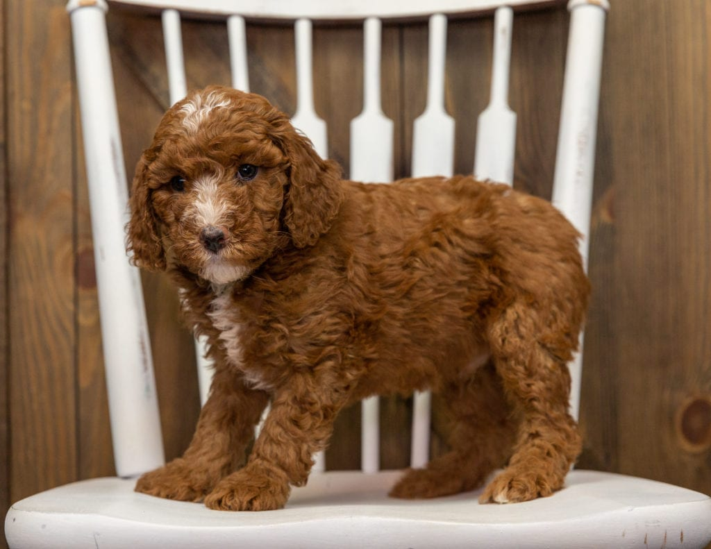 Eska is an F1BB Goldendoodle that should have  and is currently living in Tennessee
