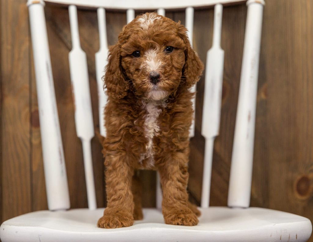 Eska came from Zara and Milo's litter of F1BB Goldendoodles