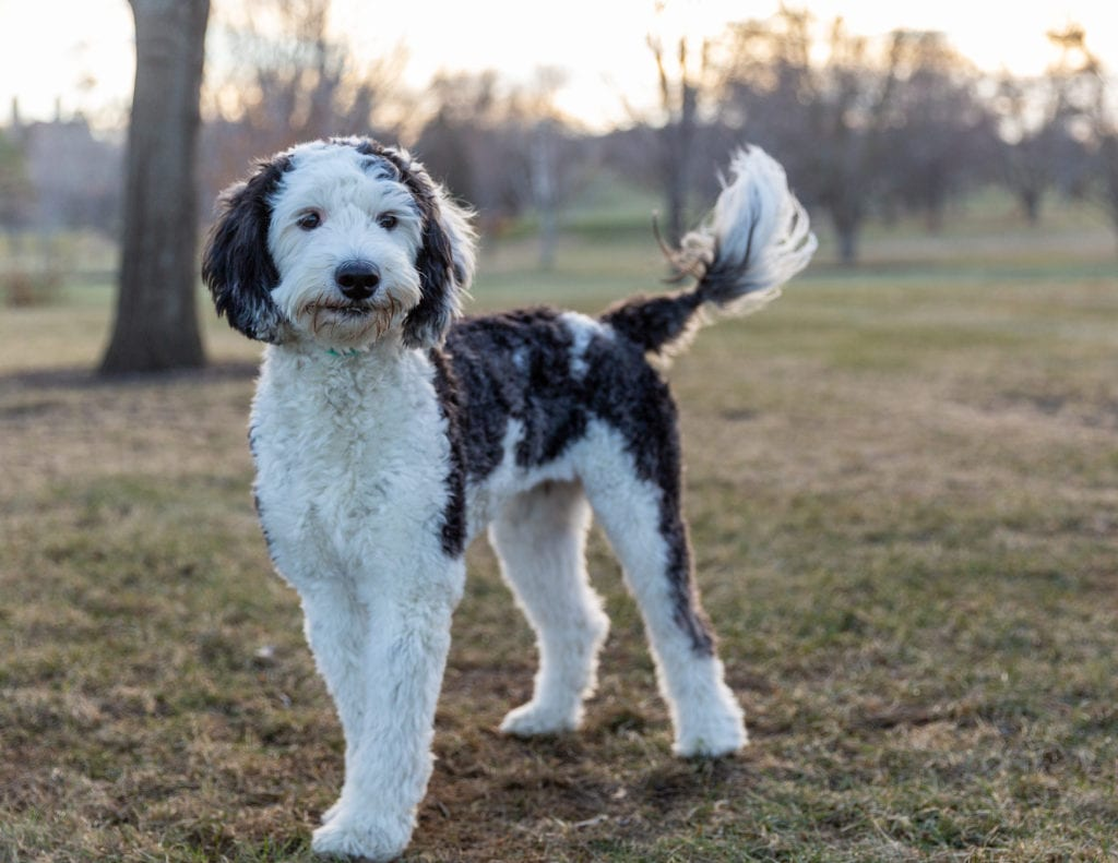 A picture of one of our Sheepadoodle mother's, Gabby.