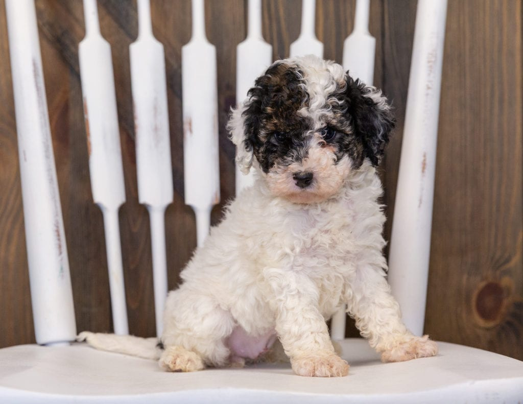 A picture of a Gabby, one of our Mini Poodles puppies that went to their home in Minnesota