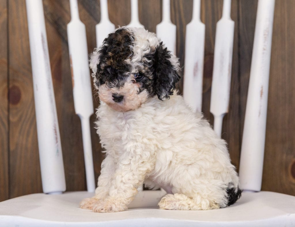 Gabby is an  Poodle that should have  and is currently living in Minnesota