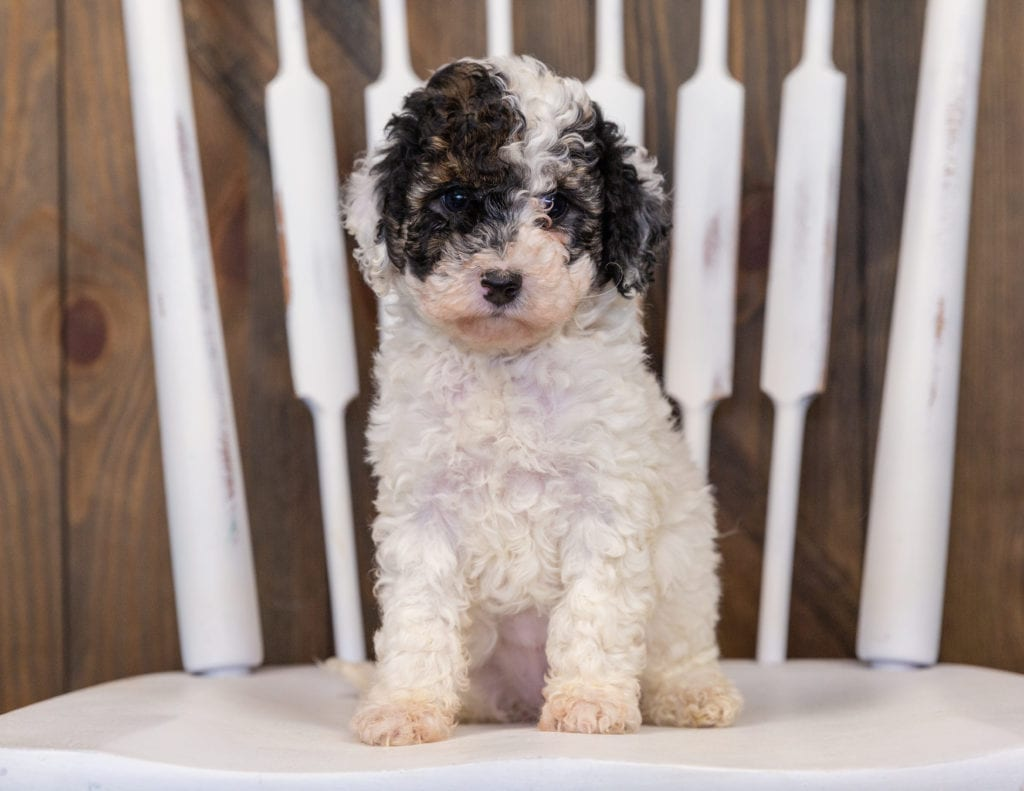 Gabby came from Tessa and Ozzy's litter of  Poodles