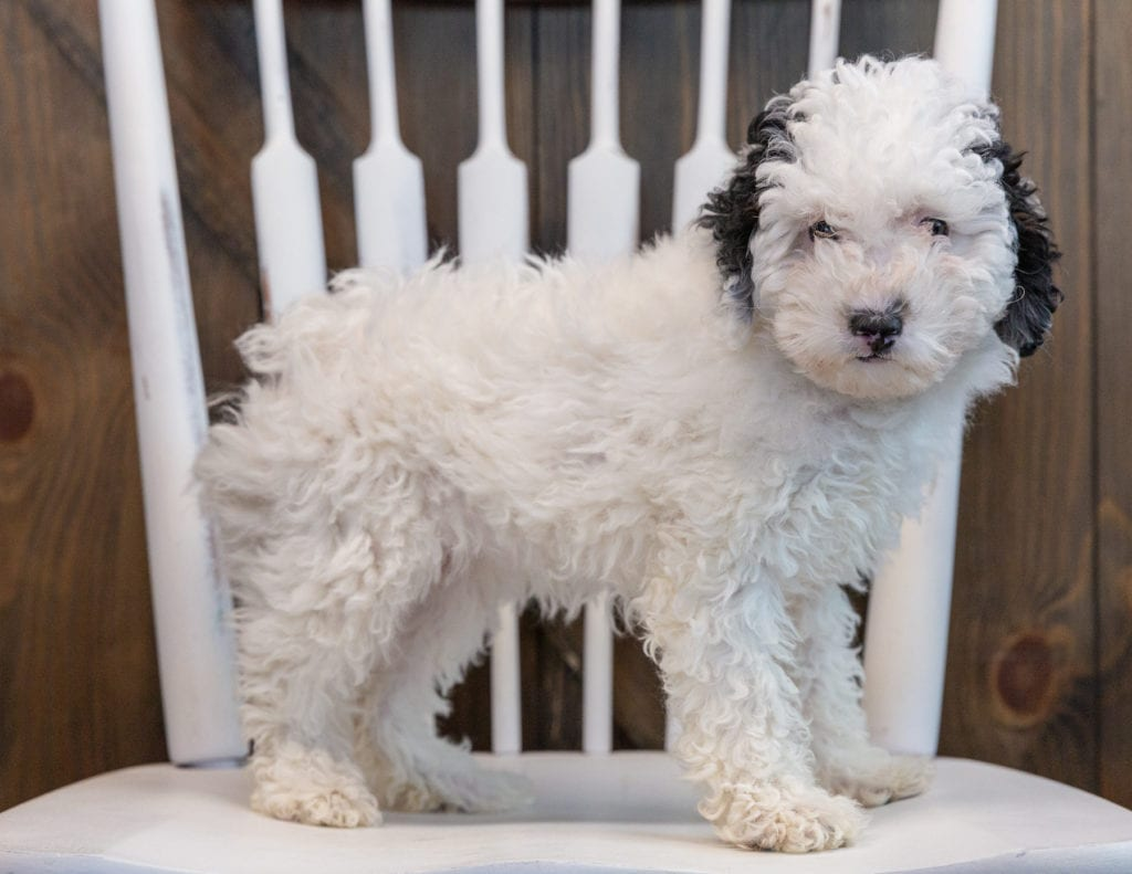 A picture of a Gem, one of our Mini Poodles puppies that went to their home in Illinois