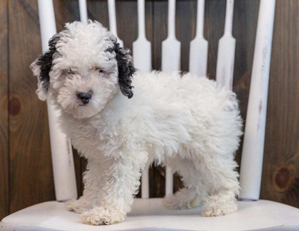 Gem is an  Poodle that should have  and is currently living in Illinois