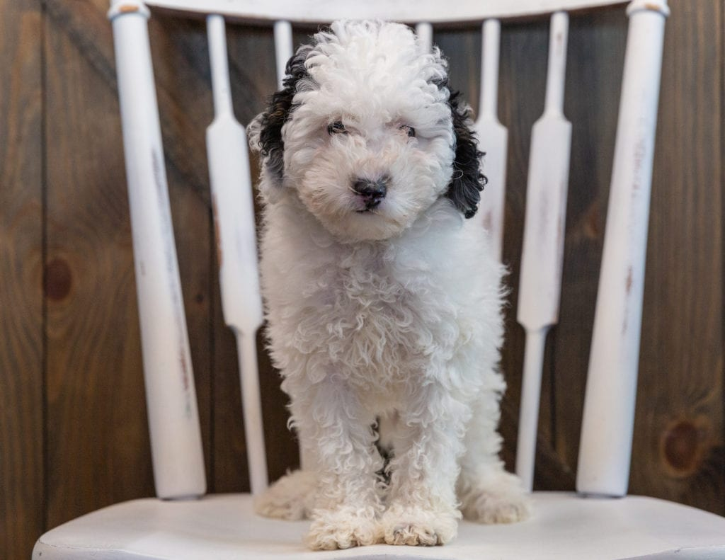 Gem came from Tessa and Ozzy's litter of  Poodles