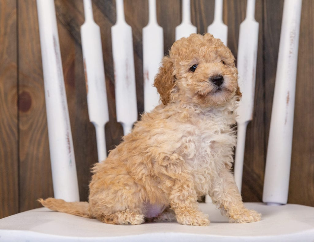 A picture of a Gia, one of our Mini Poodles puppies that went to their home in Illinois