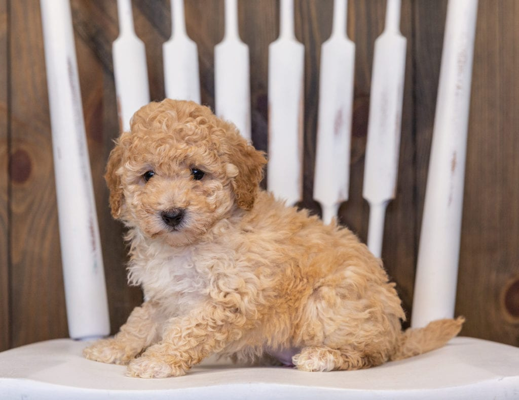 Gia is an  Poodle that should have  and is currently living in Illinois