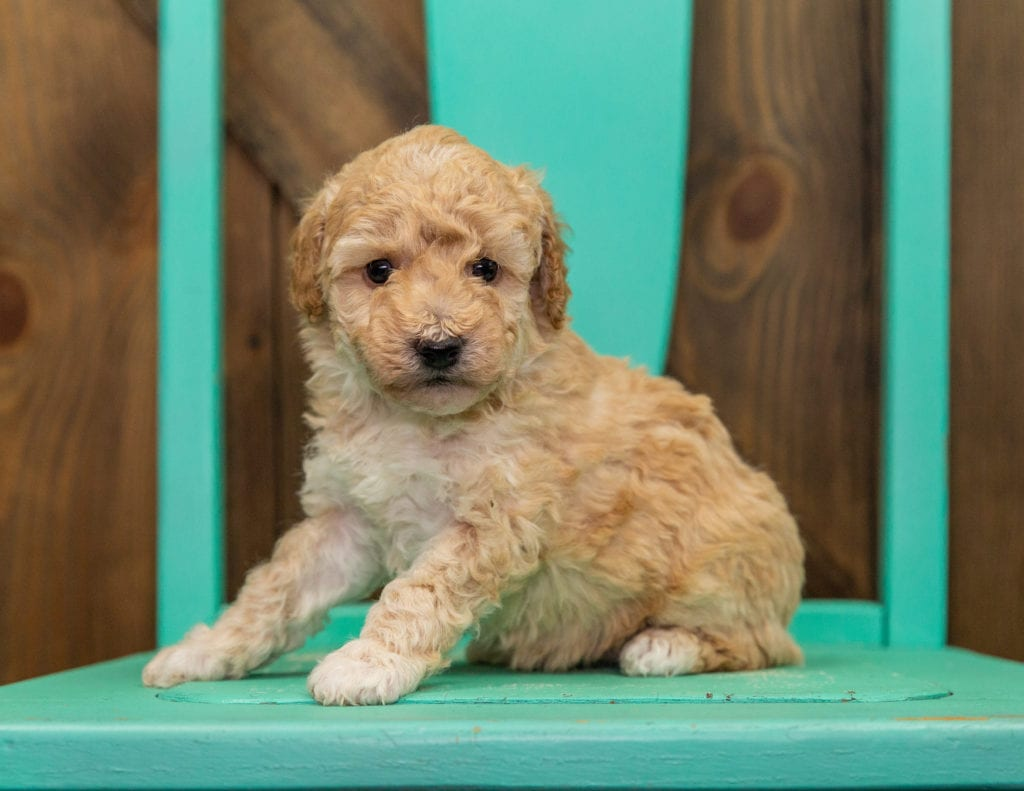 A picture of a Gia, one of our Mini Poodles puppies that went to their home in Florida