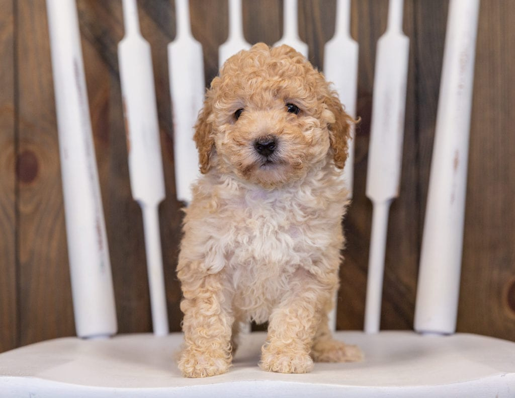 Gia came from Tessa and Ozzy's litter of  Poodles