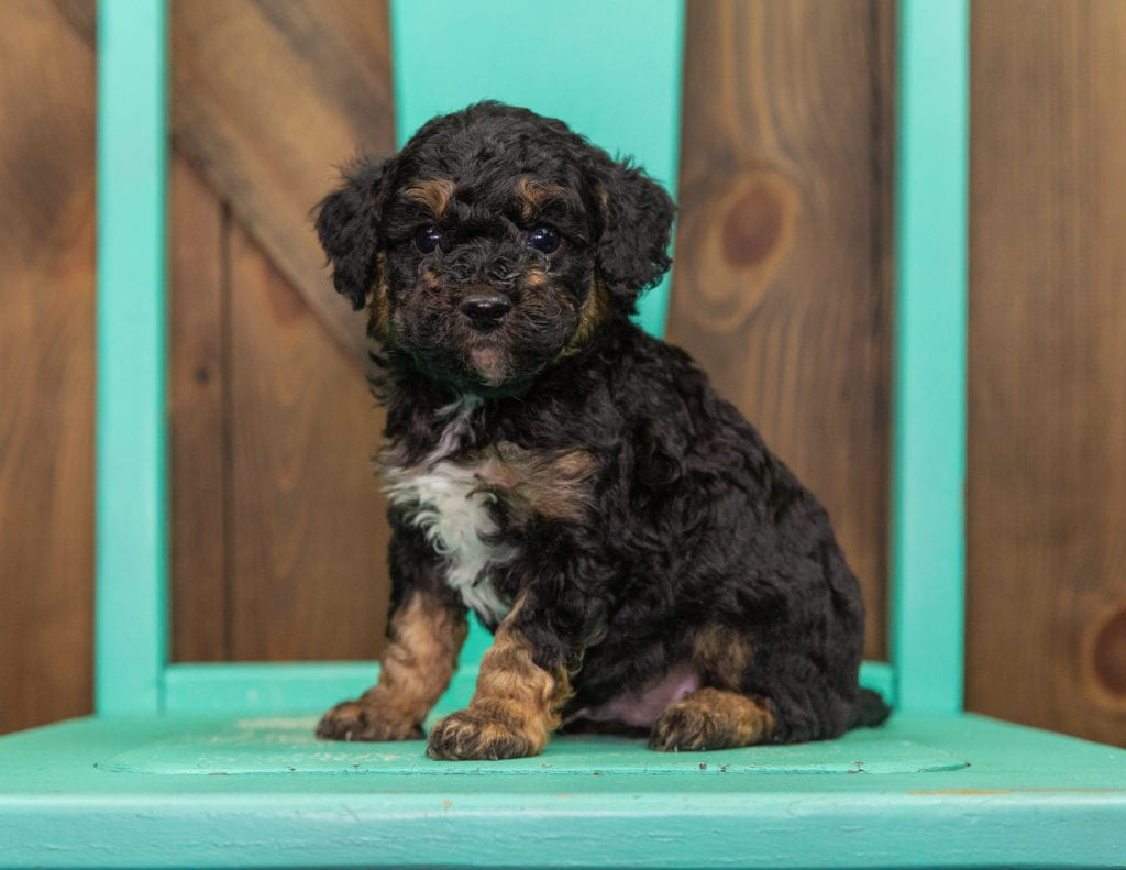 A picture of a Gizmo, one of our Mini Poodles puppies that went to their home in Iowa