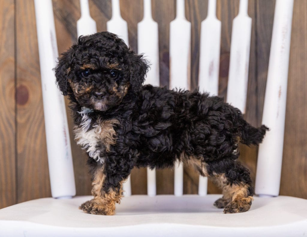Gizmo is an  Poodle that should have  and is currently living in Iowa