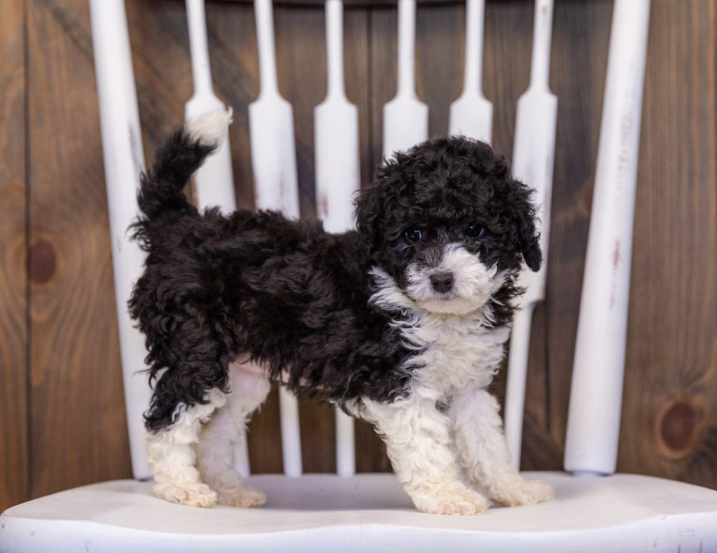 A picture of a Hannah, one of our Mini Sheepadoodles puppies that went to their home in New Jersey