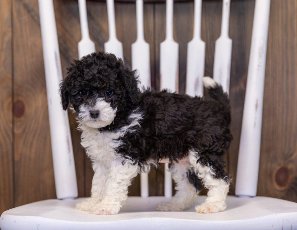 Hannah is an F1B Sheepadoodle that should have  and is currently living in New Jersey