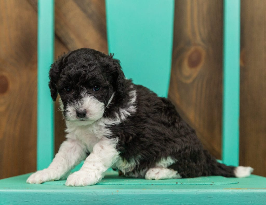 A picture of a Hannah, one of our Mini Sheepadoodles for sale