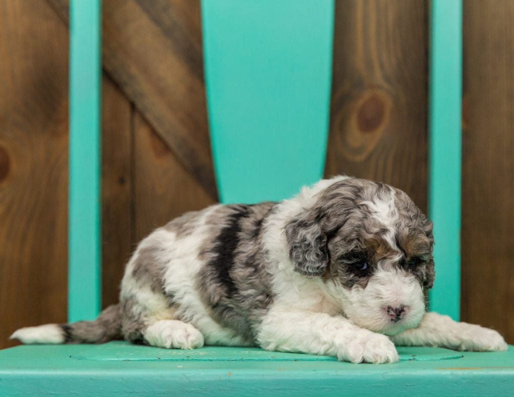 Harley is an F1B Sheepadoodle that should have  and is currently living in Iowa