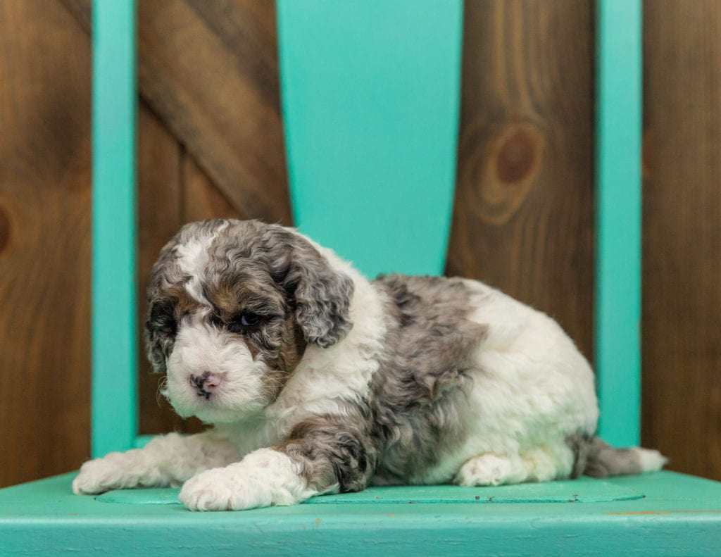 A picture of a Harley, one of our Mini Sheepadoodles puppies that went to their home in Iowa