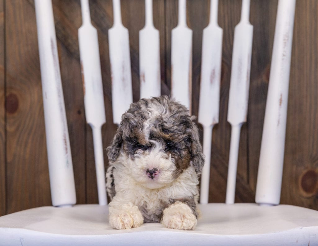 Harley came from Harley and Grimm's litter of F1B Sheepadoodles