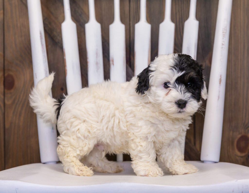 A picture of a Hatchy, one of our Mini Sheepadoodles puppies that went to their home in Georgia