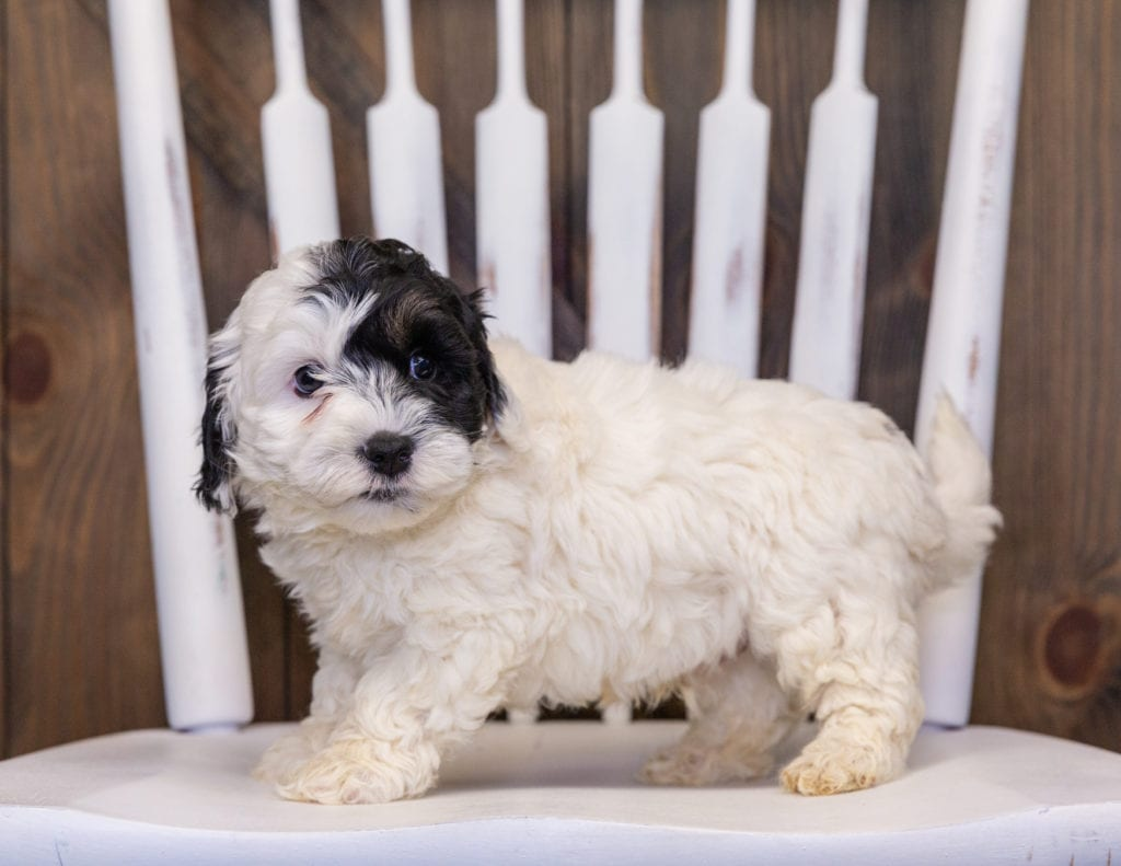 Hatchy is an F1B Sheepadoodle that should have  and is currently living in Georgia