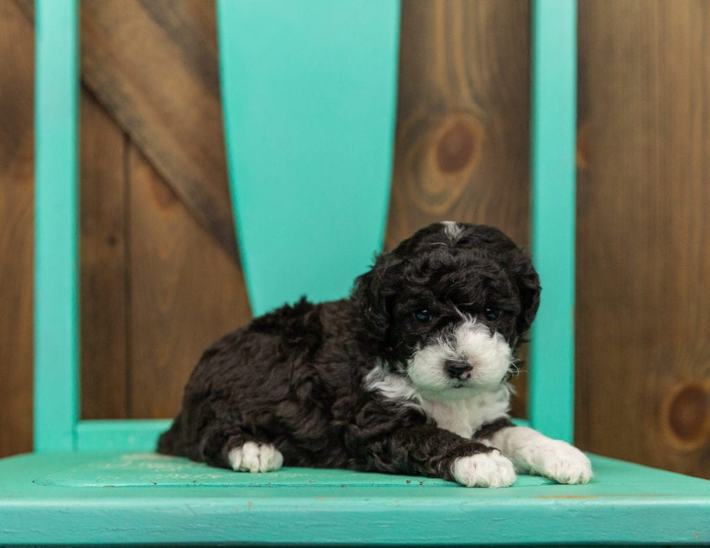 A picture of a Hazel, one of our Mini Sheepadoodles for sale