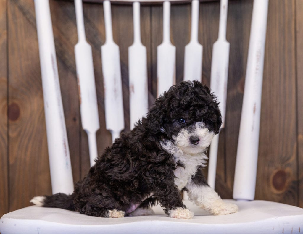 A picture of a Hazel, one of our Mini Sheepadoodles puppies that went to their home in Wisconsin