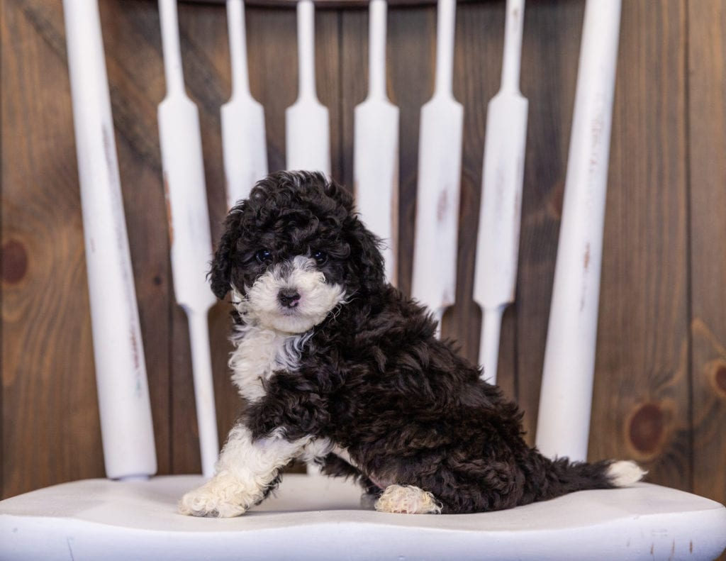 Hazel is an F1B Sheepadoodle that should have  and is currently living in Wisconsin
