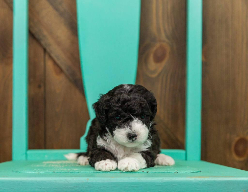 Hazel came from Ella and Grimm's litter of F1B Sheepadoodles