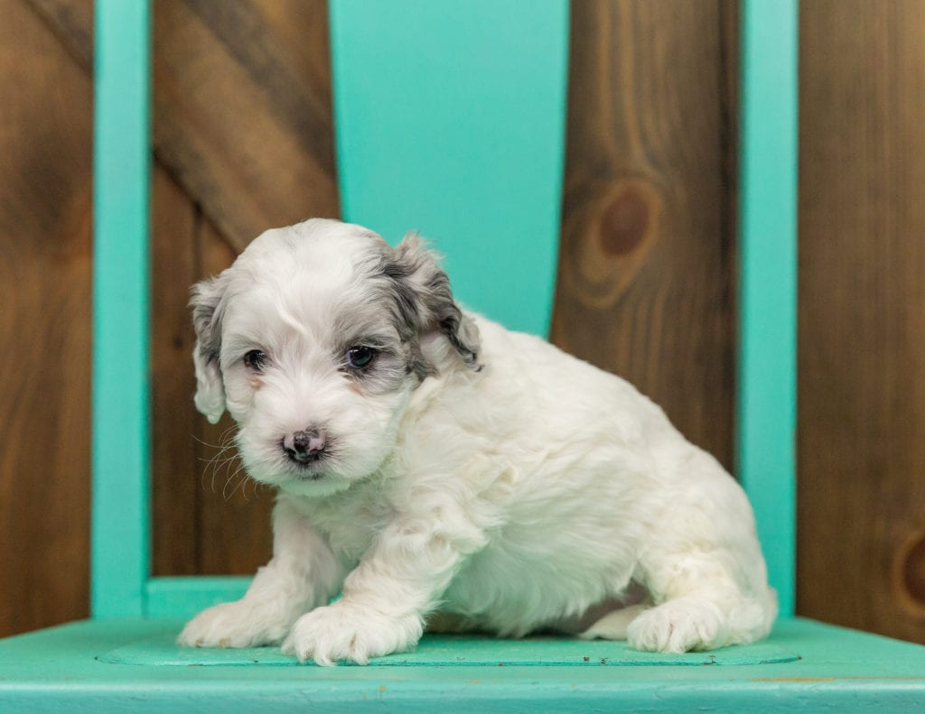 A picture of a Helga, one of our Mini Sheepadoodles puppies that went to their home in Massachusetts