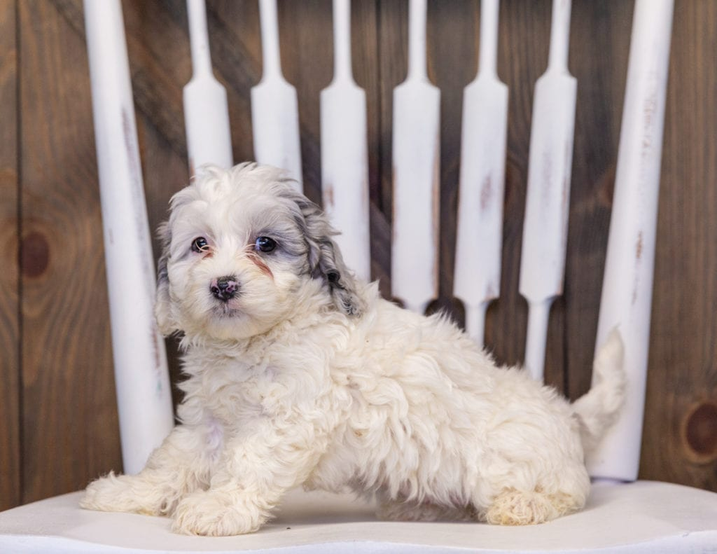 Helga is an F1B Sheepadoodle that should have  and is currently living in Massachusetts