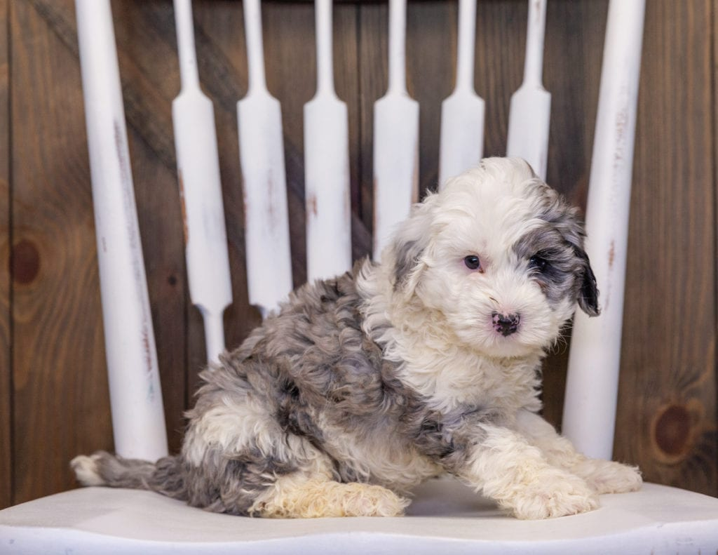 A picture of a Hero, one of our Mini Sheepadoodles puppies that went to their home in South Carolina