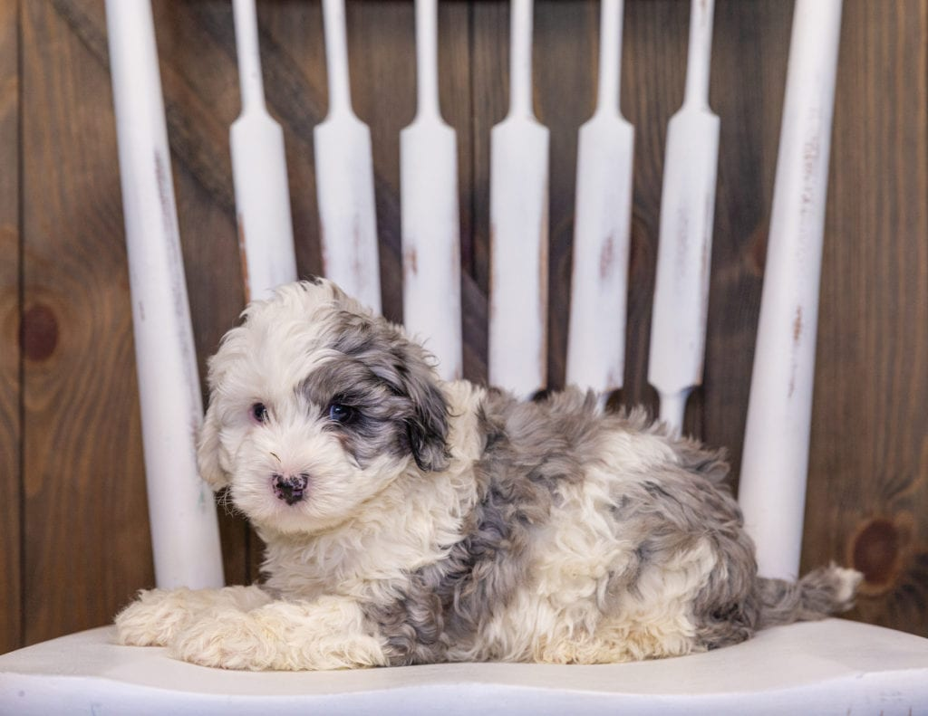 Hero is an F1B Sheepadoodle that should have  and is currently living in South Carolina