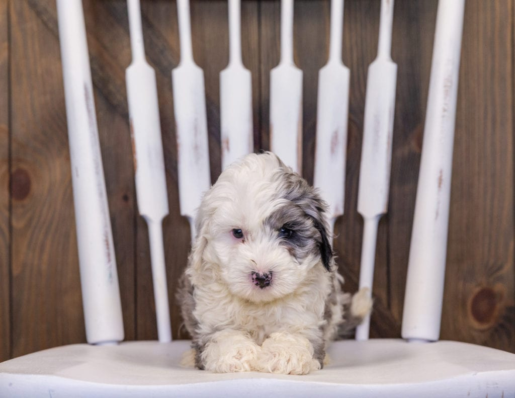 Hero came from Hero and Grimm's litter of F1B Sheepadoodles