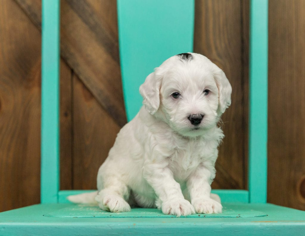 Hilda is an F1B Sheepadoodle that should have  and is currently living in California