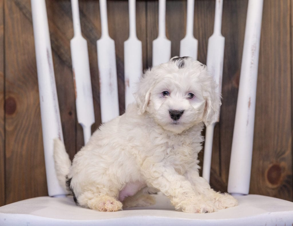 A picture of a Hilda, one of our Mini Sheepadoodles puppies that went to their home in Illinois