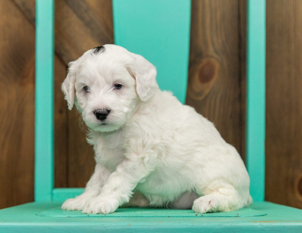 A picture of a Hilda, one of our Mini Sheepadoodles puppies that went to their home in California