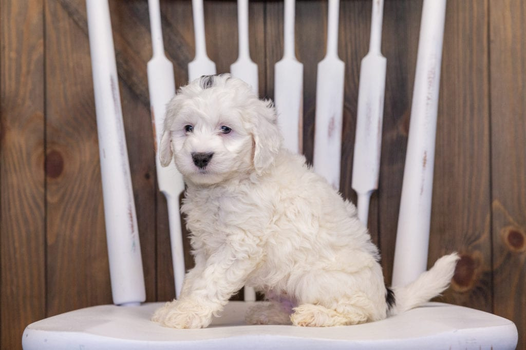 Hilda is an F1B Sheepadoodle that should have  and is currently living in Illinois