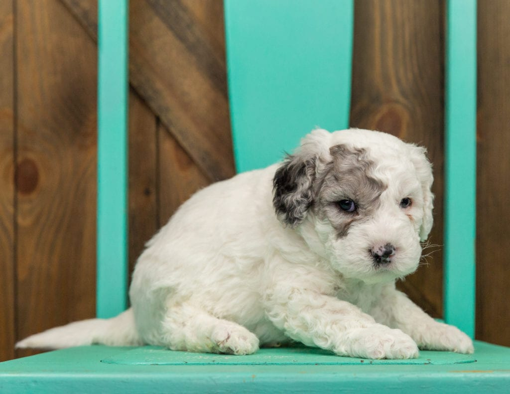 Hunter came from Ella and Grimm's litter of F1B Sheepadoodles