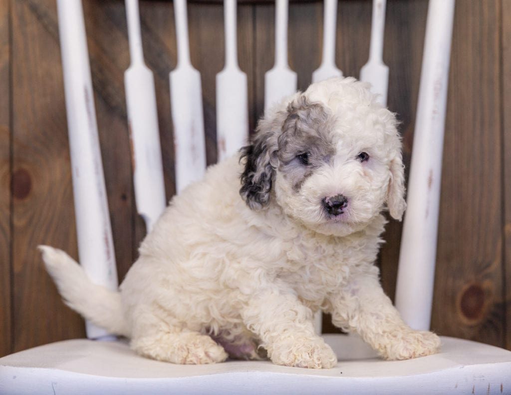 A picture of a Hunter, one of our Mini Sheepadoodles puppies that went to their home in New York