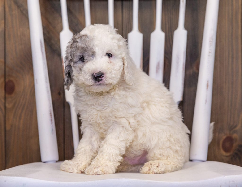 Hunter is an F1B Sheepadoodle that should have  and is currently living in New York