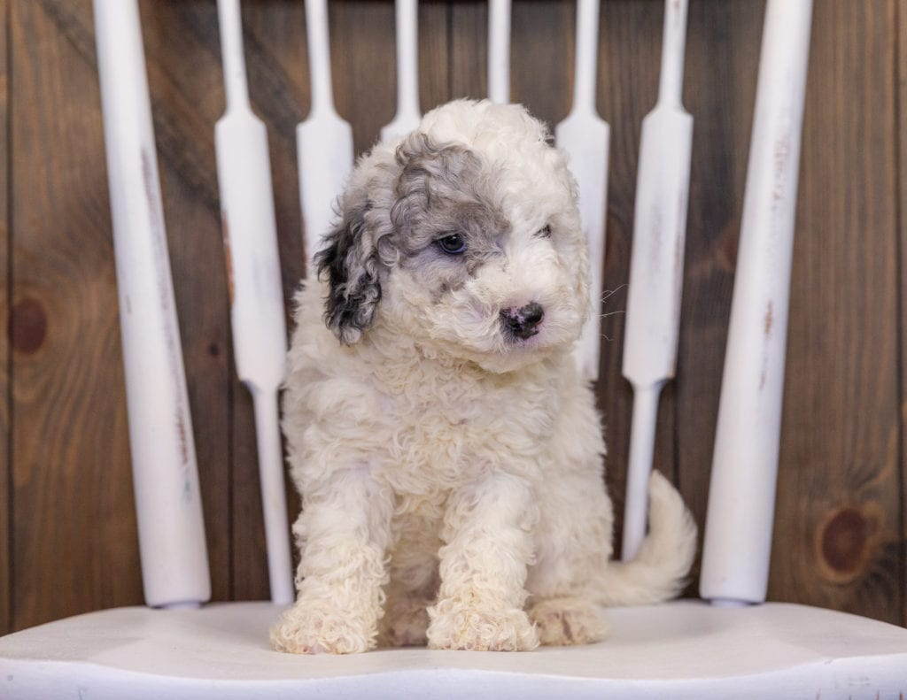 Hunter came from Hunter and Grimm's litter of F1B Sheepadoodles